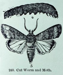 Army cut worm moth (taken from a book) Photo