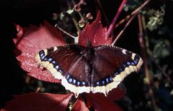 Male Mourning Cloak butterfly (Nymphalis antiopa) Photo