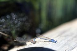Damselflies mating - male on right Photo