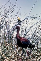 White-faced Ibis & Yellow-headed Blackbird Photo