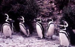 Megellanie Penguins Photo