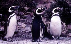 Megellanie Penguins Photo