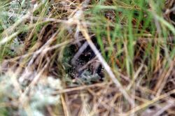 Meadowlark nest with young, near Stephens Creek Photo
