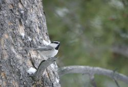 Mountain chickadee near Silver Gate, MT Photo
