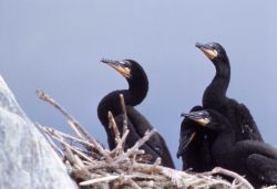 Double-crested cormorant nestlings Photo