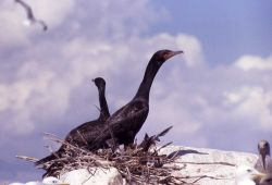 Double-crested cormorant nestlings & California gulls Photo