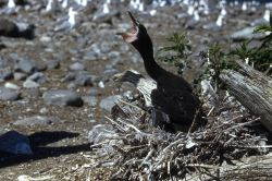 Double-crested cormorant nestling begging Photo