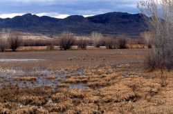 Sandhill Cranes, Bosque del Apache National Wildlife Refuge, New Mexico Photo