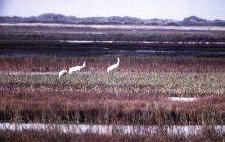 Three Whooping Cranes Photo