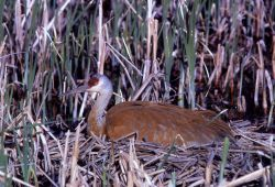 Sandhill crane on nest Photo
