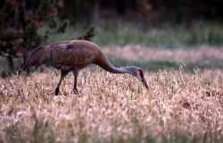 Sandhill Crane foraging Photo