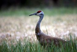 Sandhill Crane courtship display Photo