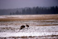 Two Sandhill Cranes on snow Photo