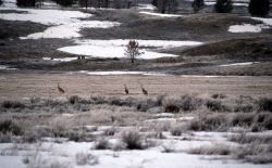 Sandhill Cranes on Swan Lake Flats Photo
