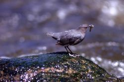 Dipper with insect Photo