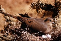 Mourning Dove incubating eggs Photo