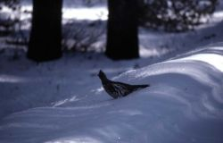 Ruffed Grouse in snow Photo