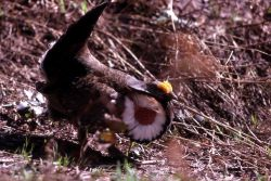 Male Blue Grouse with neck sack display Photo