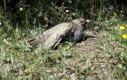 Grouse defense on Chittendon Trail Photo