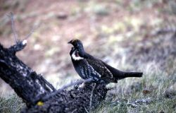 Male Blue Grouse Photo