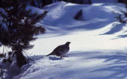 Male blue grouse Photo