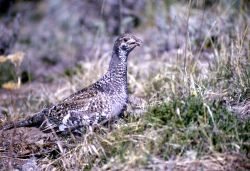 Blue Grouse Photo