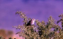 Vesper Sparrow Photo
