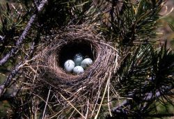 Chipping Sparrow nest with four eggs Photo