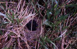 Dark-eyed Junco nest with nestlings Photo