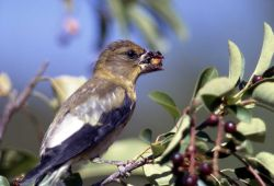 Female Evening Grosbeak Photo