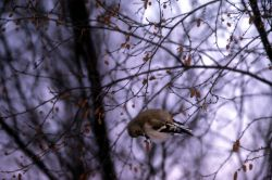 Female American Goldfinch Photo