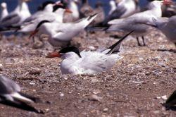 Caspian Tern on nest Photo
