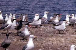 Caspian Tern & California Gulls Photo