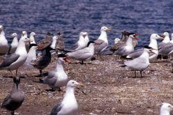 Caspian Tern & California Gulls Photo