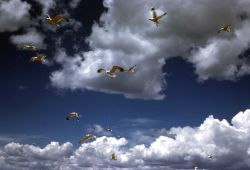 California Gulls in flight Photo