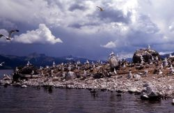 Group of California Gulls on Molly Island in Yellowstone Lake Photo
