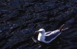 California Gull on water Photo