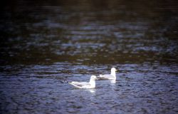 Two California Gulls on water Photo