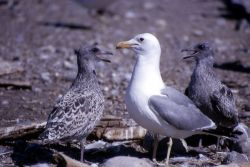 Adult & two immature California Gulls Photo