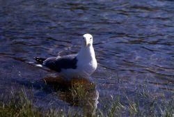 California Gull Photo