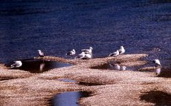 Group of California Gulls Photo