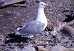 California Gull on Molly Island in Yellowstone Lake Photo