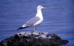 California Gull on the Southeast Arm of Yellowstone Lake Photo