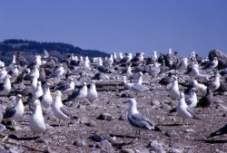 Group of California Gulls with juveniles on Molly Island in Yellowstone Lake Photo