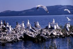 California Gull with immatures Photo