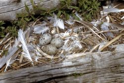 California Gull nest with three eggs Photo