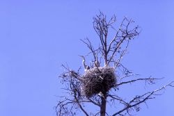 Great blue heron on nest Photo