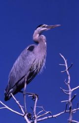 Great blue heron adult Photo