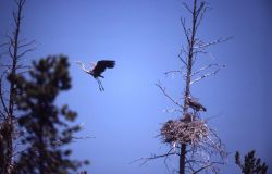 Great blue heron adult on nest & in air Photo