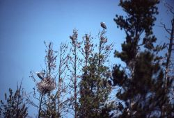 Great blue heron rookery Photo